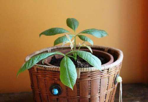 комнатное растение под названием денежное дерево: реально ли способно улучшить достаток